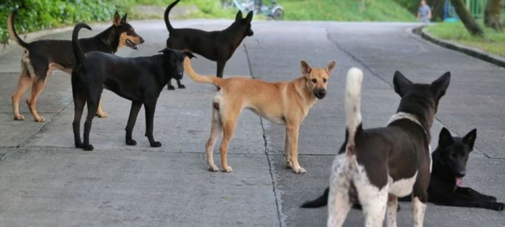 Feral dogs that will be killed by government vets if the AFCD's white van men find them. scmp.com