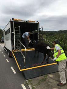 The rescued bull is taken in for treatment in AFCD's new cattle truck