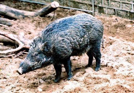wild pigs hk.jpg