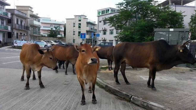 _86464485_cattle4.jpg