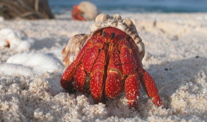 a-hermit-crab-emerges-from-its-shell.jpg