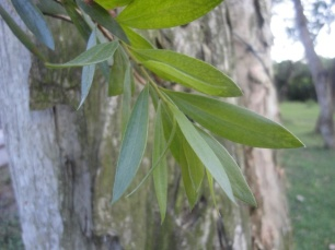 The leaves of the Paperbark Tree