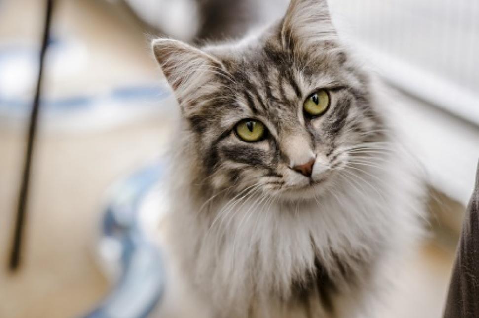 blue cross cat