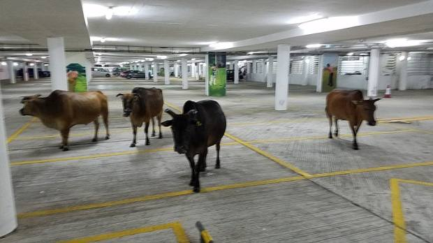 cows parking 1